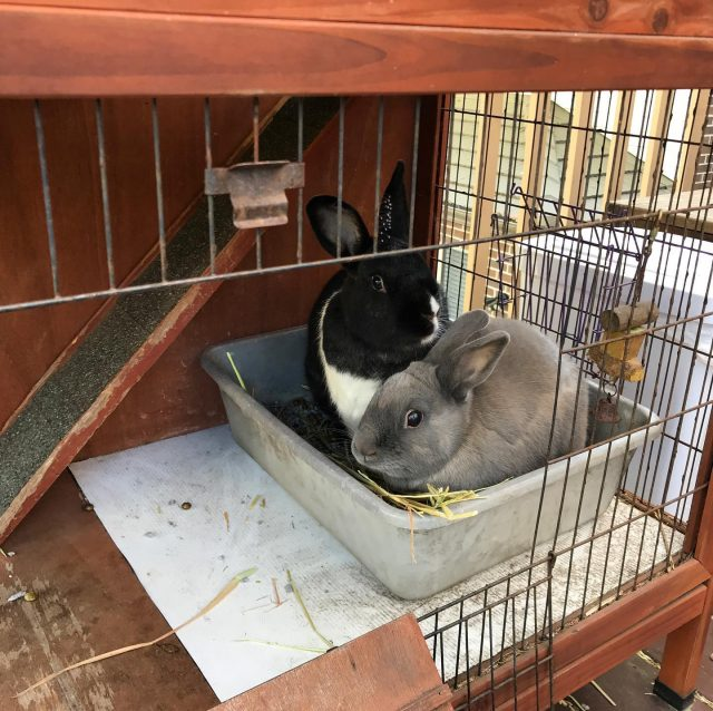 The bunnies free roam these days, but they still like to hang out in the hutch sometimes.