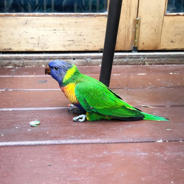 This silly bird flew into our glass doors today. It was stunned enough to sit still while I took this photo and checked it wasn't dead, then flew unsteadily away. #straya #prettybutdumb